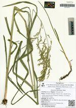 Glyceria leptolepis Ohwi