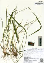 Elymus pendulinus (Nevski) Tzvelev
