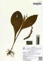 Tulotis fuscescens (L.) Czer.