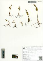 Botrychium lunaria (L.) Sw.