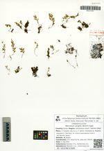 Mecodium wrightii (Bosch) Copel