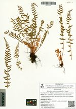 Woodsia polystichoides D.C. Eaton