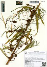 Cuscuta japonica Choisy