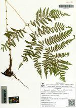 Diplazium sibiricum (Turcz. ex G. Kunze) Kurata