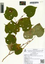 Tilia amurensis Rupr.