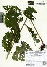 Saussurea grandifolia Maxim.