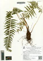Polystichum tripteron (G. Kunze) C. Presl