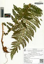 Polystichum braunii (Spenn.) Fée