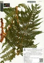 Polystichum microchlamys (Christ) Matsum.