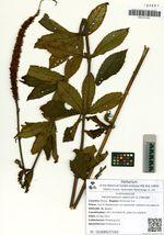 Veronicastrum sibiricum (L.) Pennell