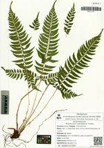 Polystichum subtripteron Tzvelev