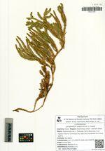Lycopodium subarcticum V. Vassil.