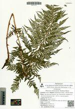 Athyrium americanum (Butters) Maxon