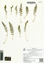 Woodsia ilvensis (L.) R. Br.