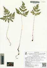 Cystopteris montana (Lam.) Bernh. ex Desv.