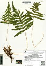 Phegopteris connectilis (Michx.) Watt