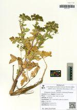 Kitagawia litoralis (Vorosch. & Gorovoj) Pimenov