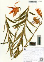 Lilium leichtlinii Hook f. var. maximowiczii (Regel) Baker