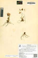 Primula tschuktschorum (E.A. Busch) Fernald