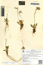 Primula tschuktschorum (E.A. Busch) Fernald var. arctica