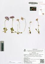 Primula cuneifolia Ledeb.