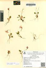 Primula borealis Duby