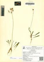 Primula farinosa L.