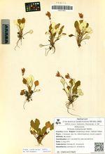 Primula matsumurae Petitm.