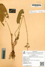 Primula japonica A.Gray