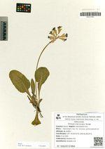 Primula macrocalyx Bunge