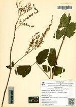 Cimicifuga dahurica (Turcz.) Maxim.