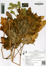 Cimicifuga heracleifolia Kom.