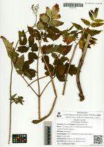 Cimicifuga foetida L.