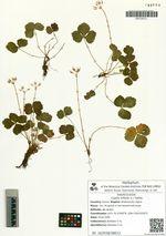 Coptis trifolia (L.) Salisb.
