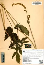Cimicifuga simplex (Wormsk. ex DC.) Turcz.