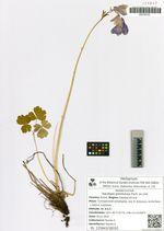 Aquilegia glandulosa Fisch. ex Link.
