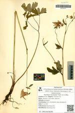 Aquilegia oxysepala Trautv. & C.A.Mey.