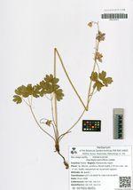 Aquilegia parviflora Ledeb.