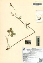Aquilegia viridiflora Pall.