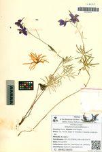 Delphinium grandiflorum L.