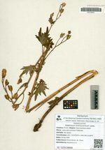 Delphinium brachycentrum Ledeb.