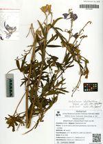 Delphinium cheilanthum Fisch. ex DC.