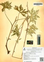 Delphinium crassifolium Schrad. ex Spreng.