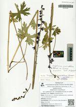 Delphinium crassifolium Schrad. ex Ledeb. var. pubescens var. semiglabra