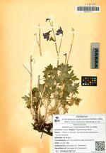 Delphinium chamissonis Pritz. ex Walp.
