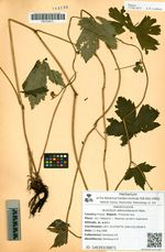 Aconitum alboviolaceum Kom.
