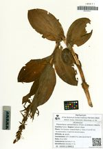 Platanthera camtschatica (Cham. & Schlecht.) Makino