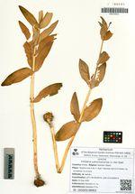Fritillaria camschatcensis (L.) Ker Gawl.