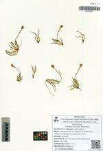 Tofieldia coccinea Richardson