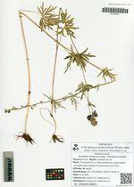 Aconitum altaicum steinb. subsp. chenteensis Galanin
